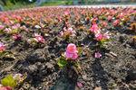 На клумбах сквера высажены цветы